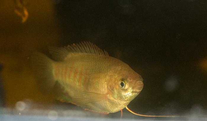 Trichogasterfasciata-female.jpg